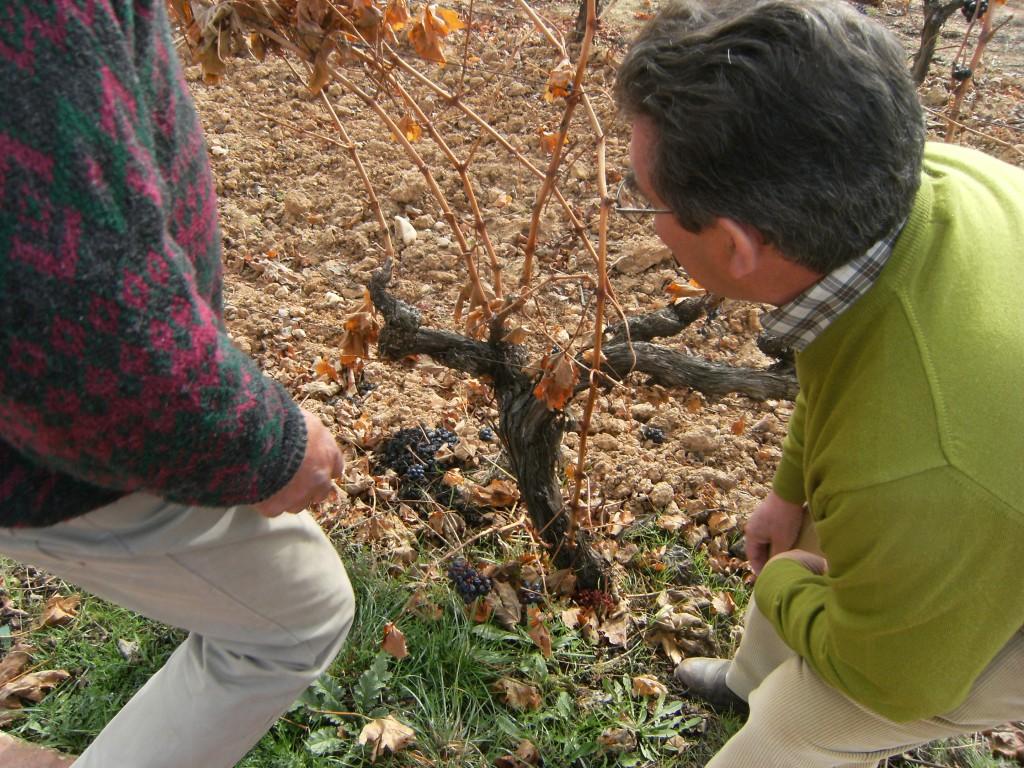 Observando una cepa en la viña